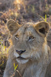 Close up of a young lion 1 Royalty Free Stock Photos
