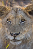 Close up of a young lion 2 Stock Photography