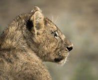 Close-up of a young lion, Serengeti, Tanzania Stock Photos