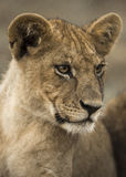Close-up of a young lion, Serengeti, Tanzania Royalty Free Stock Images