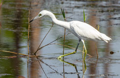 Close up of a Young Little Blue Heron Stock Image