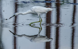 A Close up of a Young Little Blue Heron Wading Royalty Free Stock Image
