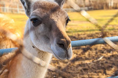 Close up young llama in zoo. Portrait of young llama in zoo standing next to net Royalty Free Stock Photos