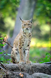 Young Lynx in spring time. Close-up young lynx in spring time Stock Image