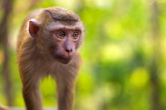 Close-up, young macaca monkey walking on ground with green background Stock Photography