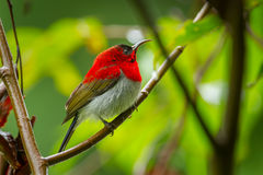 Close up of Young male Crimson Sunbird Stock Photography