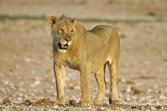 Close-up of young male lion Royalty Free Stock Photo
