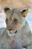 Close-up of a young male lion Stock Images