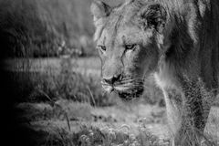 Close up of a young male Lion in black and white. Close up of a young male Lion's face in black and white in the Central Khalahari, Botswana royalty free stock photos