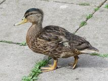 Close up of young male mallard duck walking. Plumage of the juvenile is similar to adult females. The bill of this young male has a green tinge, females would Royalty Free Stock Photos