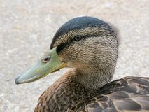Close up portrait of young male mallard duck. Close up of young male mallard ducks face. Plumage of the juvenile is similar to adult females. The sexes can be Royalty Free Stock Images