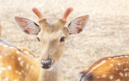 Close up young male sika deers or spotted deers or Japanese deers Cervus nippon wild animal. Resting in natural royalty free stock photo