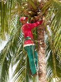 A young man pruning a palm tree in Cuba. Close-up of A young man trimming branches and climbed a palm tree in Cuba Royalty Free Stock Images