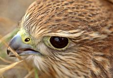 Close up of young Merlin Stock Photo