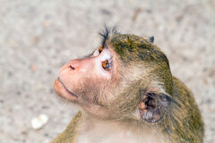 Close up of young monkey sitting at the park and look into sky Stock Photos