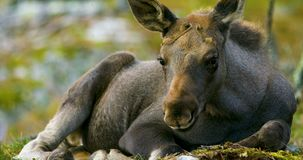 Close-up of a young moose calf on the forest floor