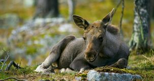 Close-up of a young moose calf rests on the forest floor stock video