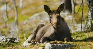 Close-up of a young moose calf rests on the forest floor stock footage
