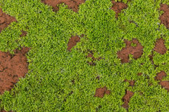 Close up on young moss growing on a red brick. Very young moss is growing on top the surface of a red brick stone Stock Photo
