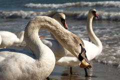 Close up of an young mute swan eating bread slice Stock Photos