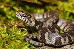 Northern Water Snake Juvenile royalty free stock image