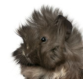 Close-up of young Peruvian guinea pig Royalty Free Stock Photography
