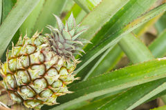 Close-up of young pineapple on tree Royalty Free Stock Image