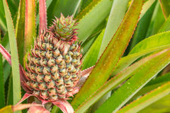 Close-up of young pineapple in the field Royalty Free Stock Images