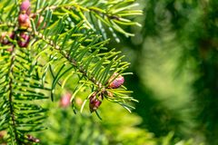 Close-up of young pinecones on the branches of Picea omorica. Sunny day in spring garden. Nature concept for design. Selective focus royalty free stock image