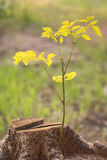 Close up young plant growing on tree stump Royalty Free Stock Images