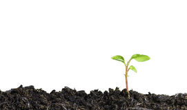 Close up of a young plant sprouting from the ground on white background Royalty Free Stock Photo