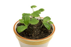 Close Up Of Young Plants In Flower Pot XXXL Stock Photos