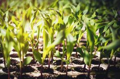 Close-up of young plants ready to be planted Royalty Free Stock Photos