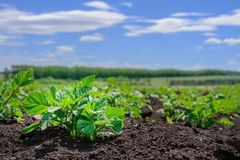 Close-up of a young potato shoot in the garden. potato plantation, agriculture, autumn harvest royalty free stock photo