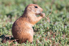 Close-up of young prairie dog in summer Stock Images