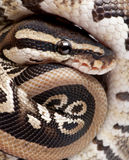 Close up on a Young Python regius (10 months old) royalty free stock photo