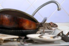 Close-up young rat climbs on dirty dishes in the kitchen sink royalty free stock image