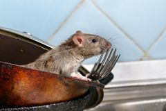 Close-up young rat looks out of the dirty pan with forks on background of blue tile in kitchen. royalty free stock photography