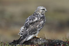 Close-up of a young rough-legged hawk Buteo Lagopus found on the tundra Royalty Free Stock Image