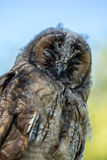 Close up of young Scops owl in Balagne region of Corsica Royalty Free Stock Photos