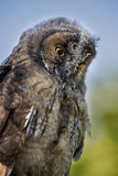 Close up of young Scops owl with bright yellow eyes Stock Image
