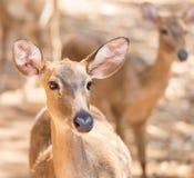 Close up young siamese eld deer , Thamin, brow antlered deer  Cervus eldi Siamensis Royalty Free Stock Images