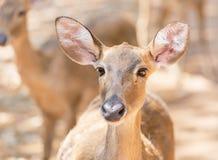Close up young siamese eld deer , Thamin, brow antlered deer  Cervus eldi Siamensis Royalty Free Stock Photos