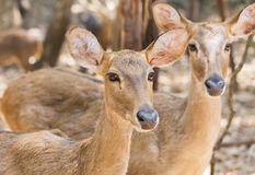 Close up young siamese eld deer , Thamin, brow antlered deer  Cervus eldi Siamensis. In natural Royalty Free Stock Image