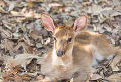 Close up young siamese eld deer , Thamin, brow antlered deer  Cervus eldi Siamensis. In natural Stock Photos