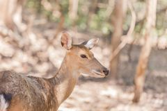 Close up young sika deers or spotted deers or Japanese deers Cervus nippon wild animal. Resting in natural royalty free stock photos