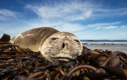 Close up of a young Southern Elephant seal sleeping. On a summer day on a sandy beach, Falkland islands royalty free stock photography