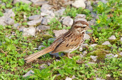 The close-up of the young sparrow Royalty Free Stock Photos