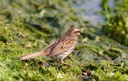 The close-up of the young sparrow Stock Photos