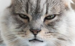 Close-up of a young striped feline face. gray sleepy cat. a pet. royalty free stock photos